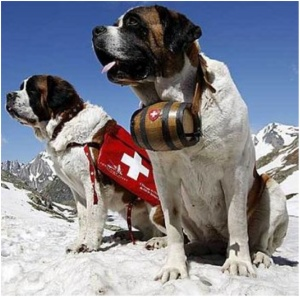 Buried under ten feet of snow? Killer cough? Nol problem for these big dogs.